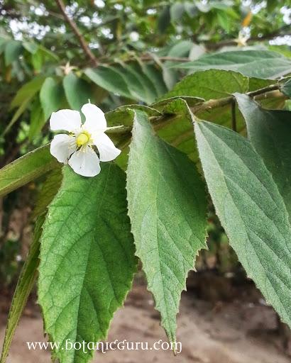 Muntingia calabura, Malayan Cherry leaves