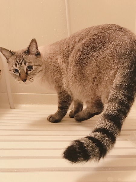 風呂フタの上のシャムトラ猫