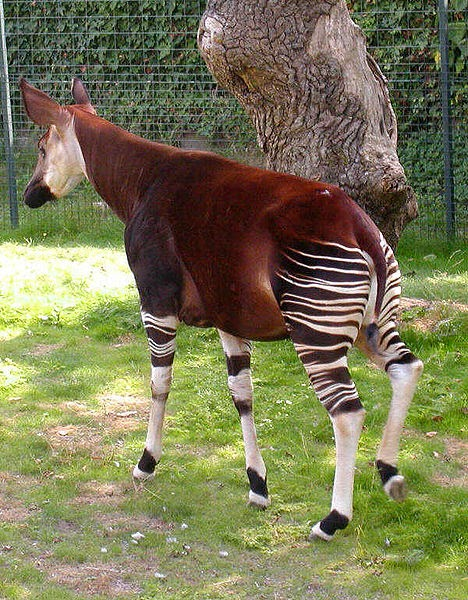 Image of an okapi from the bristol zoo