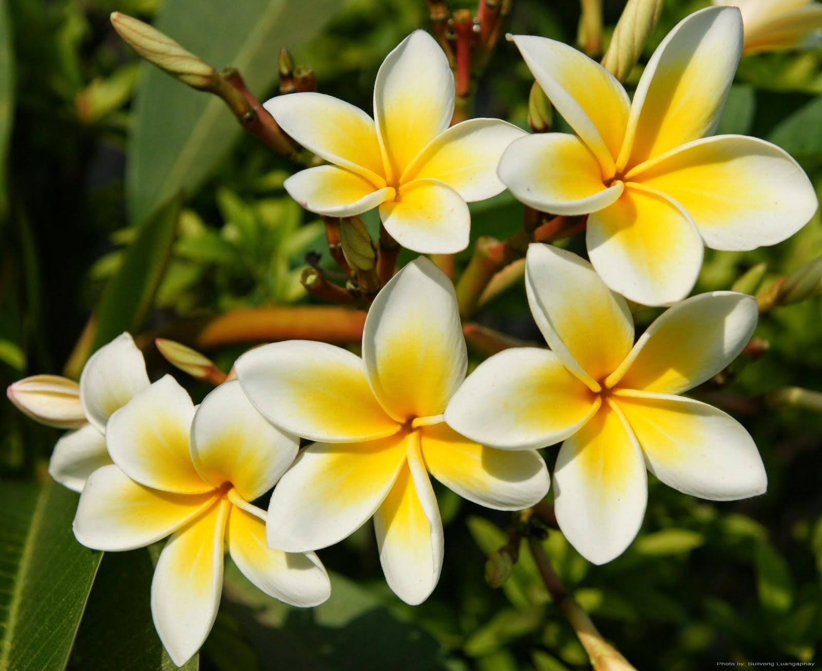Magnolia Champaca Sustainable Green Initiative Planting Fruit