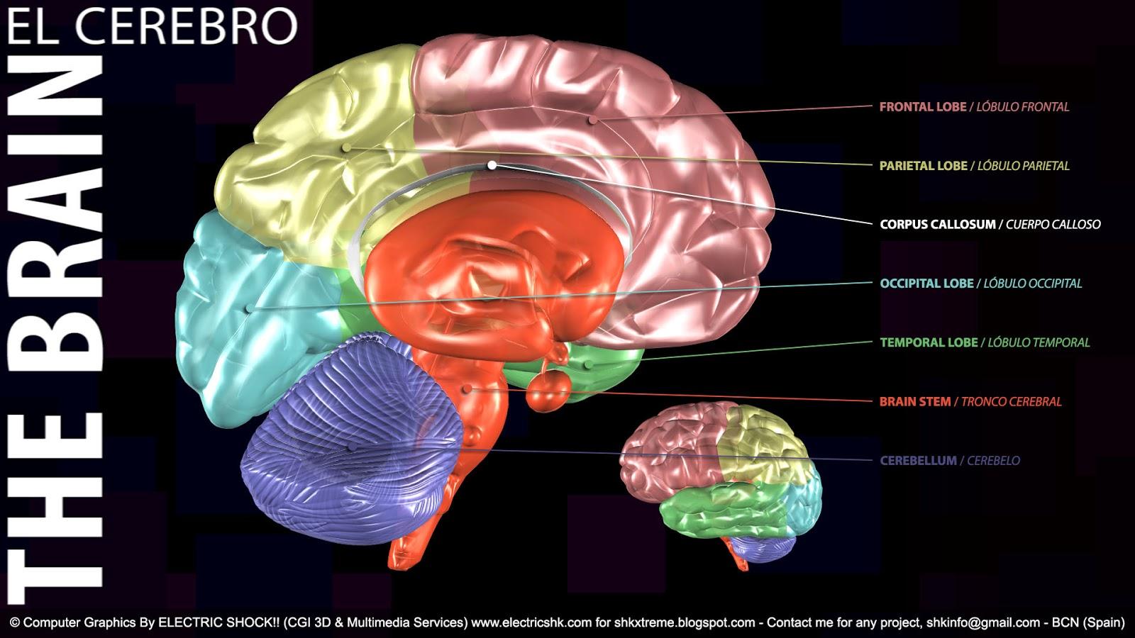 Imágen con nombres y localización partes del Cerebro