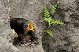 Perawatan Anakan Burung Decu Agar Bisa Tetap Hidup