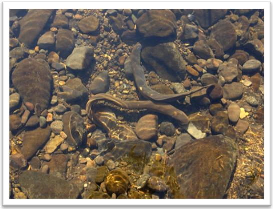 Puyallup River Wdfw