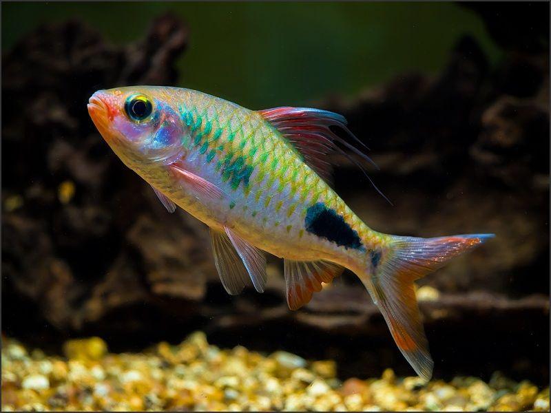 ikan puntius lineatus