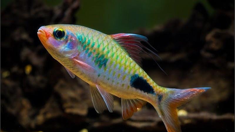 Budidaya Ikan Hias Arulius Puntius Arulius Barbus Arulius