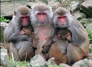 hewan terpintar dan tercerdas di dunia - monyet