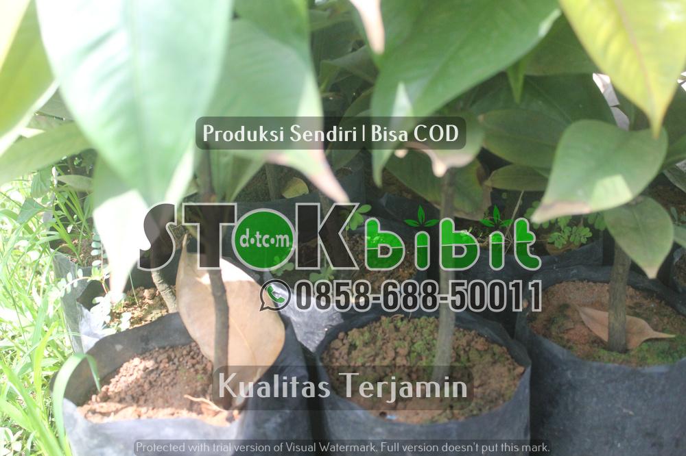 Pisang ambon dan jenis jenis pisang komersil lain    berkualitas     Grosir