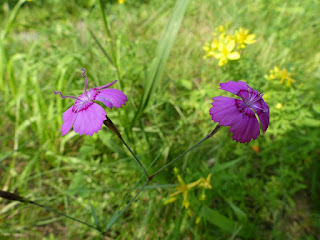 Oeillet à delta - Oeillet couché - Oeillet glauque - Dianthus deltoides