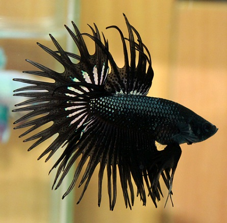 All about betta fish: orchid crown betta
