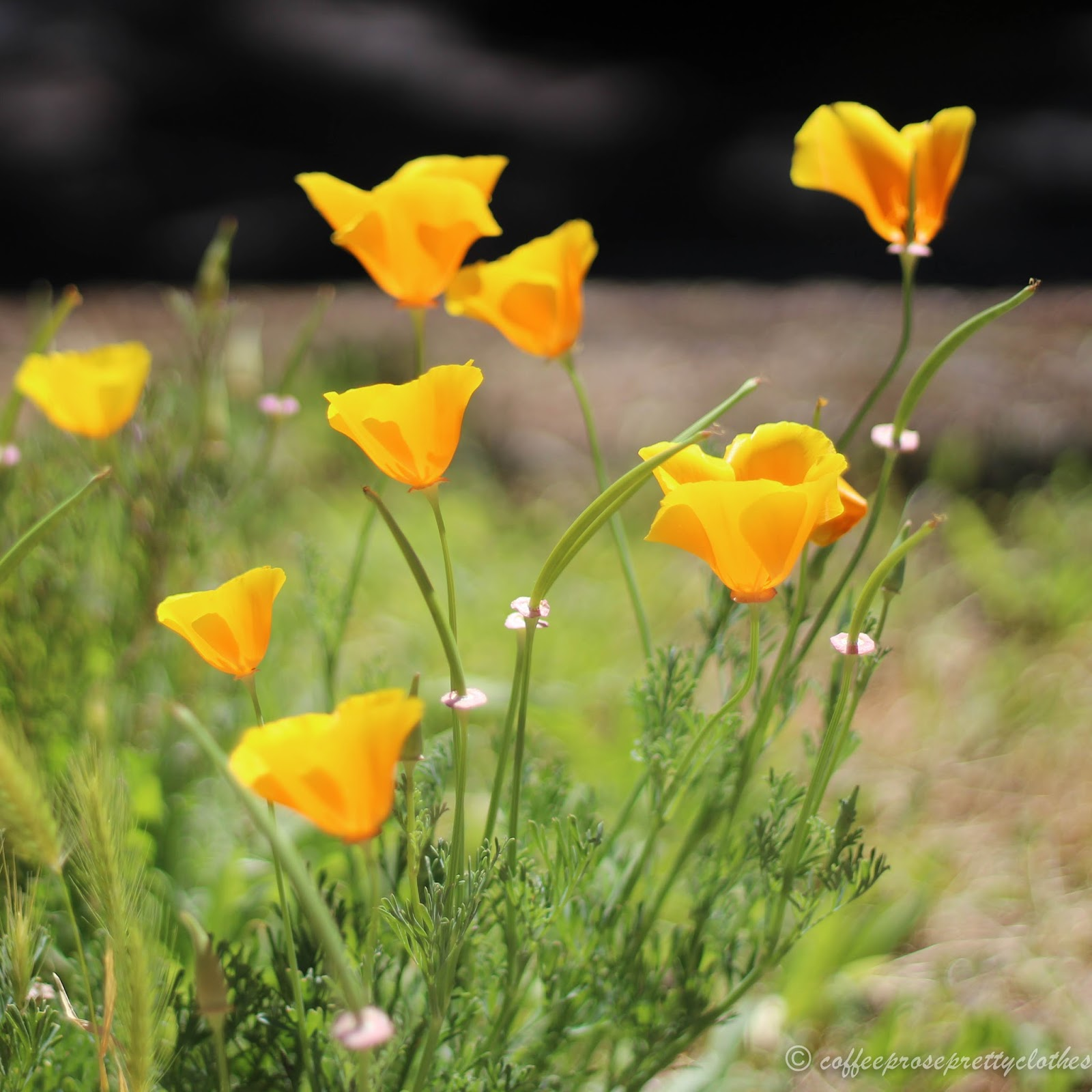California wild poppies in McCloud
