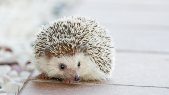 Cute little Hedgehog at home
