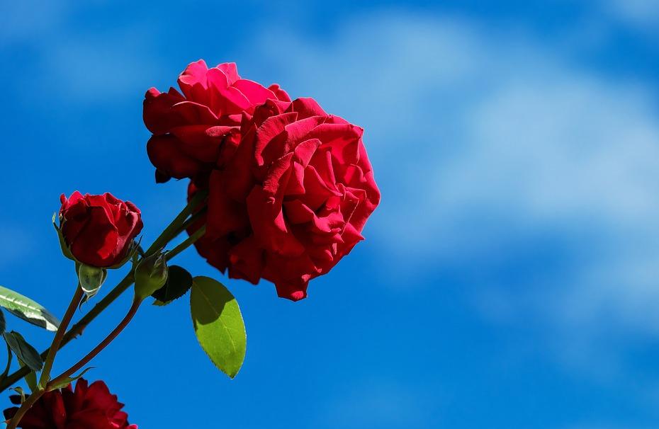 Warna bunga mawar beserta artinya