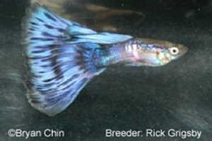 Purple Bicolor Guppy