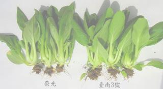 民意日報新聞網: 靑江菜新品種「臺南3號」口感鮮甜青脆,將可提供消費者新鮮蔬菜新選擇