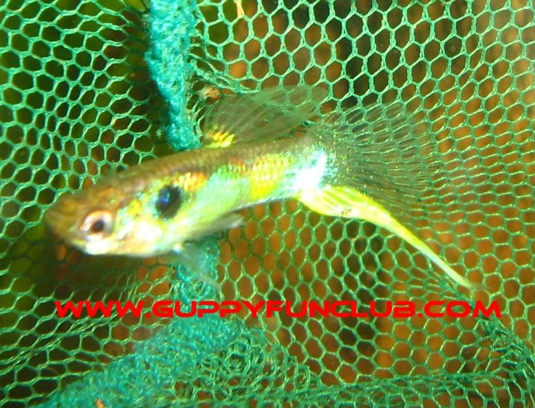 Gambar Ikan Guppy Bottom swordtail-bottom sword tail guppy young male