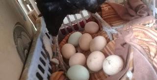 Penyebab utama telur ayam tidak menetas