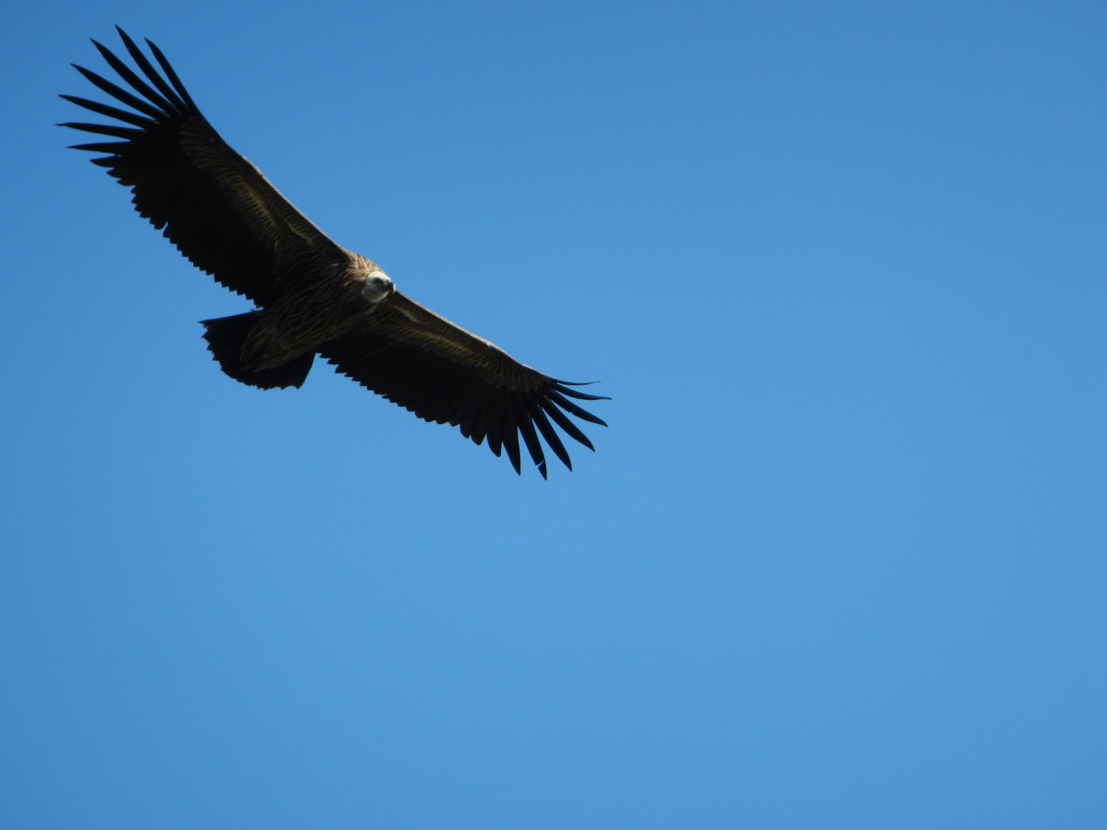 A vulture flying high up in the sky.