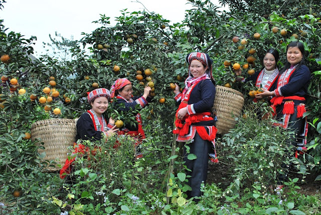 Bac Quang orange in Ha Giang 2