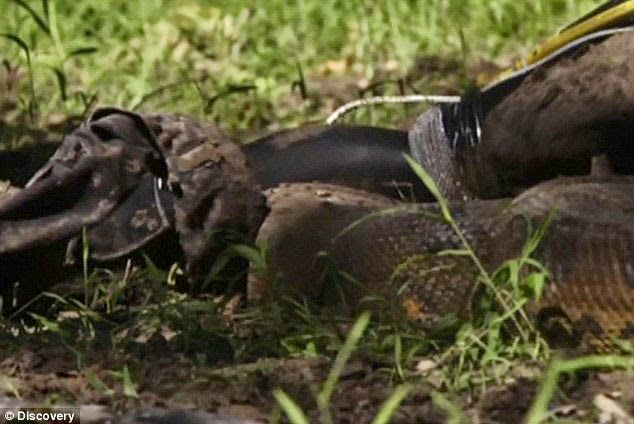 Eaten Alive by Anaconda Snake TV Stunt by Discovery Channel Photos