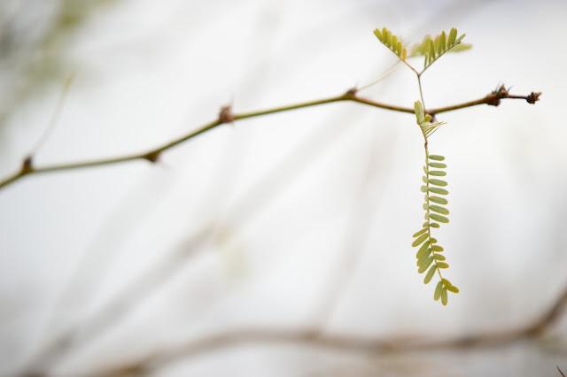mesquite, prosopis, velutina, sonoran, desert, small sunny garden, amy myers, photography