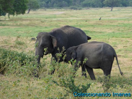 Safari en Minneriya