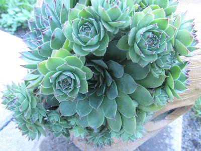 Hen and chicks in my strawberry pot