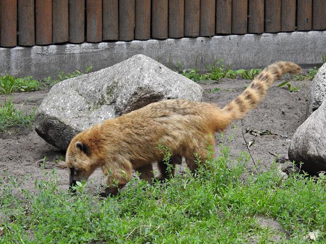 Ostronos jest zwierzęciem drapieżnym i mieszka w nowotomyskim zoo.
