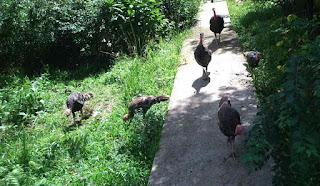 família de perus, com quatro filhotes, passeando