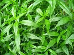 Image Herbal ampuh alami mengobati obat keputihan jos