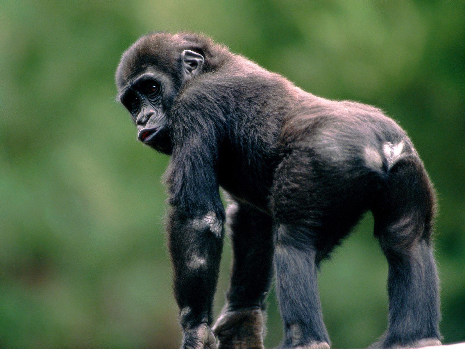 3d animals wallpaper ape - photo #4