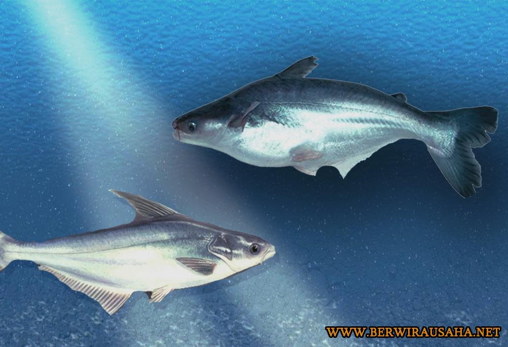 Budidaya Ikan Patin Lengkap Tips Budidaya