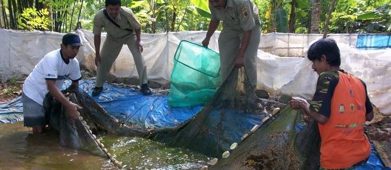 Budidaya Ikan Lele di Kolam Terpal yang Menguntungkan