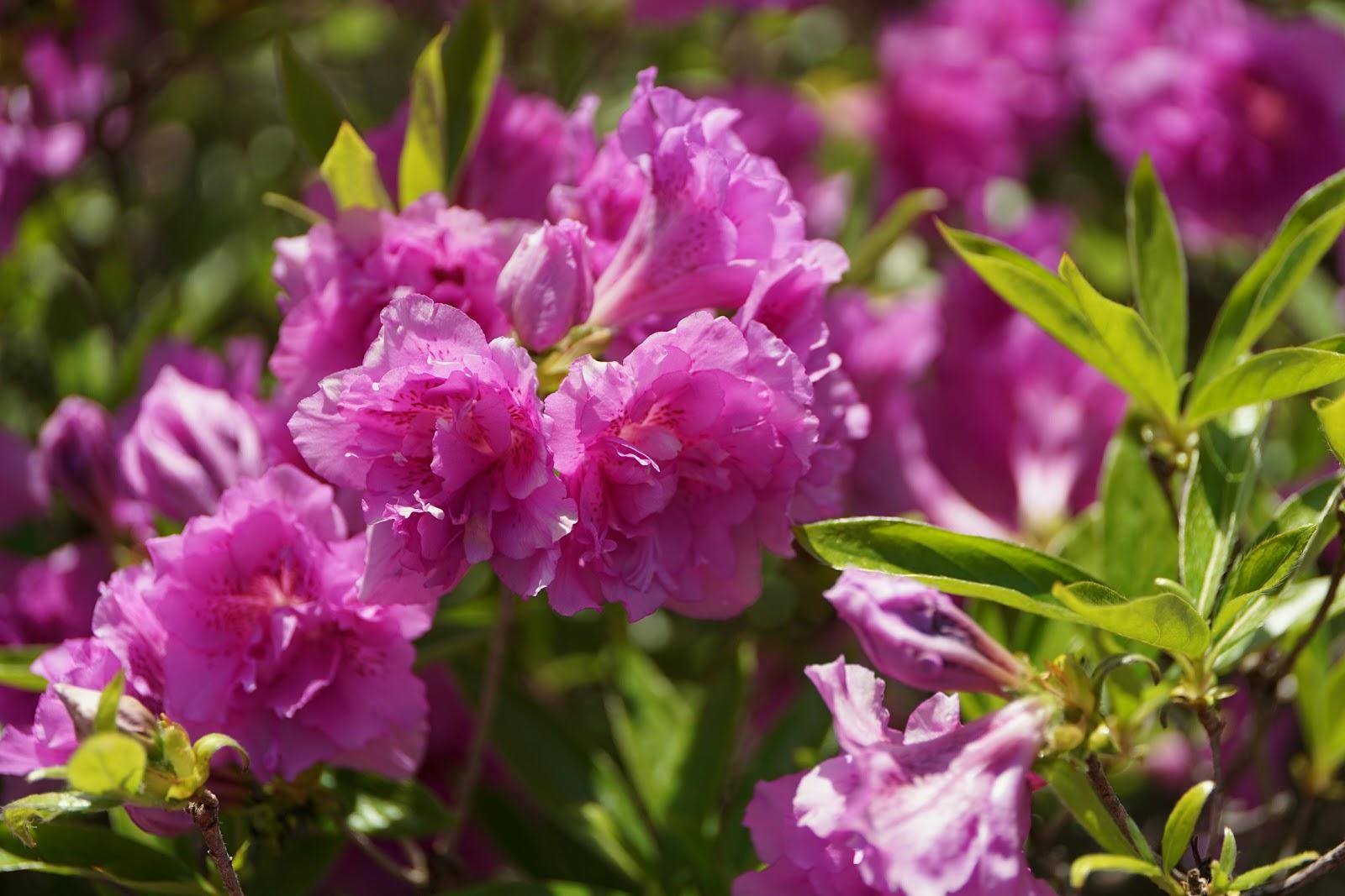 逆光気味の淀川躑躅の花