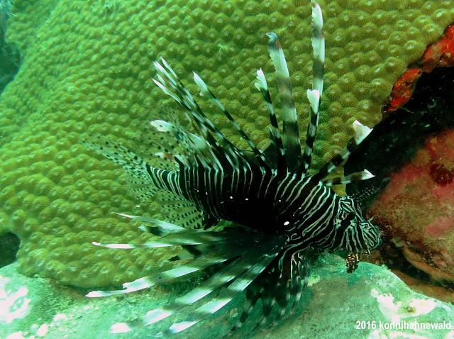 lionfish, koh lipe, thailand, tropical sea, u/w photography, scuba diving,