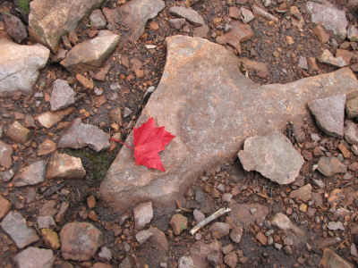 red maple leaf on rock