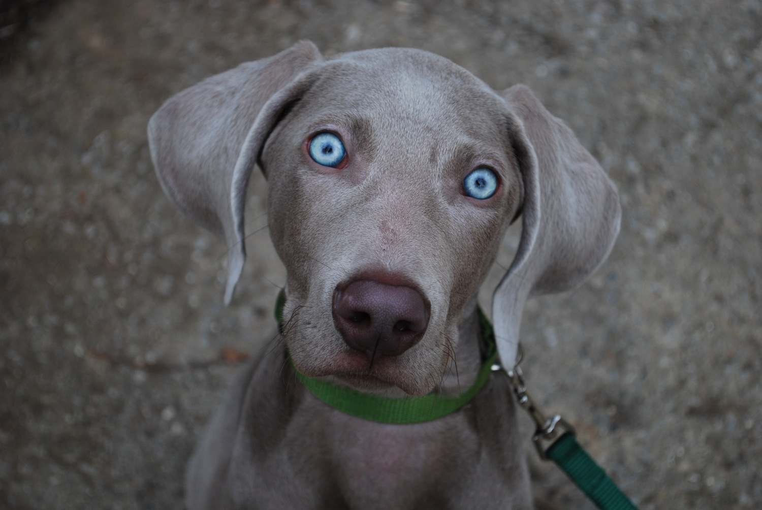 Cute Wallpapers Of Kittens And Puppies Whitney S Photo Blog Spencer The Weimaraner Dog