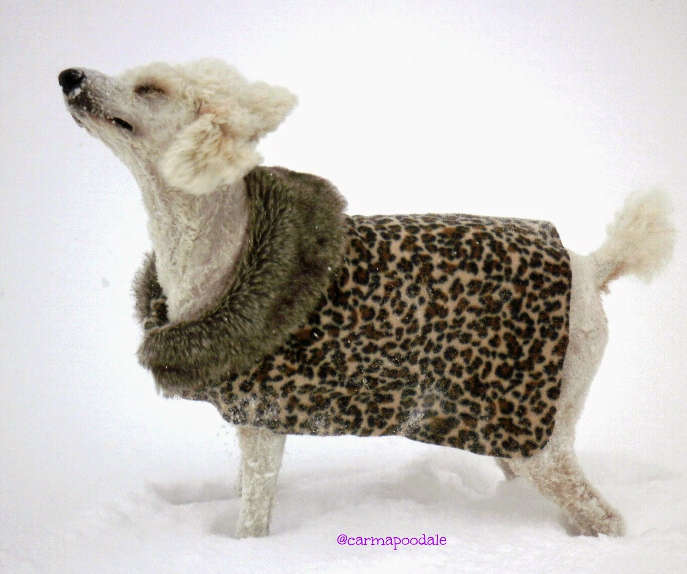 poodle in snow in leopard jacket