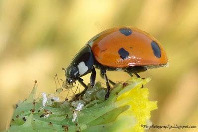 What Food Do Ladybugs Eat
