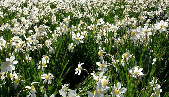 Weiße Narzisse, Narcissus poeticus