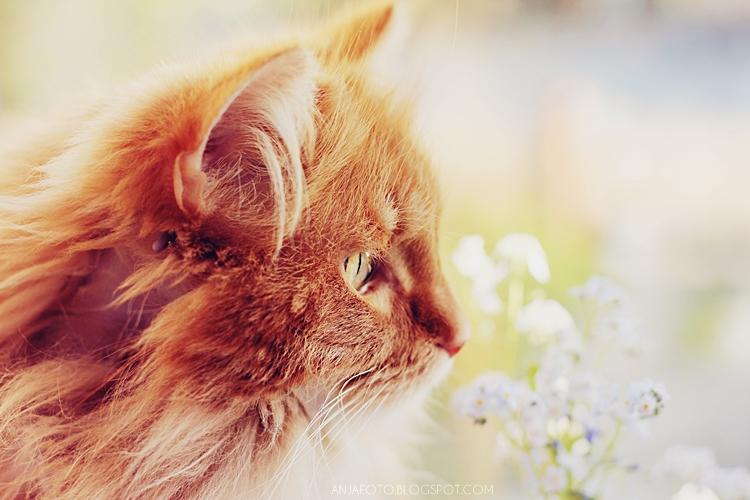 kot, rudy kot, rude koty, fotografia kotów, kot norweski leśny