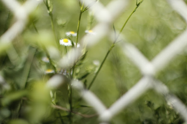 Two Daisy Flowers Behind Metal Fence