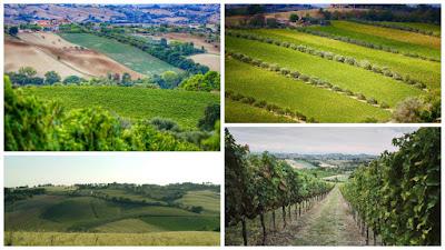 paesaggi vigne marche