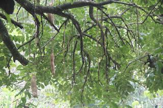 Gambar pohon sosis  ( Kigelia Africana (Lam.) Benth.)