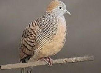 Mengetahui Perbedaan Dari Jenis Burung Perkutut Lokal Dan Bangkok Paling Akurat