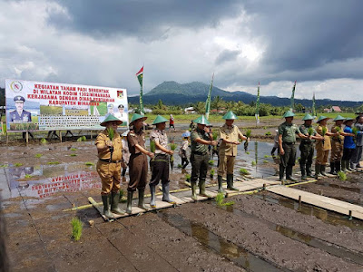 Kegiatan tanam padi serentak kodim 1302 minahasa kerjasama dengan Dinas Pertanian Kabupaten Minahasa.