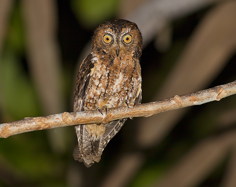 Rufous banded owl