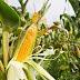 Buena producción de sorgo y maíz amarillo