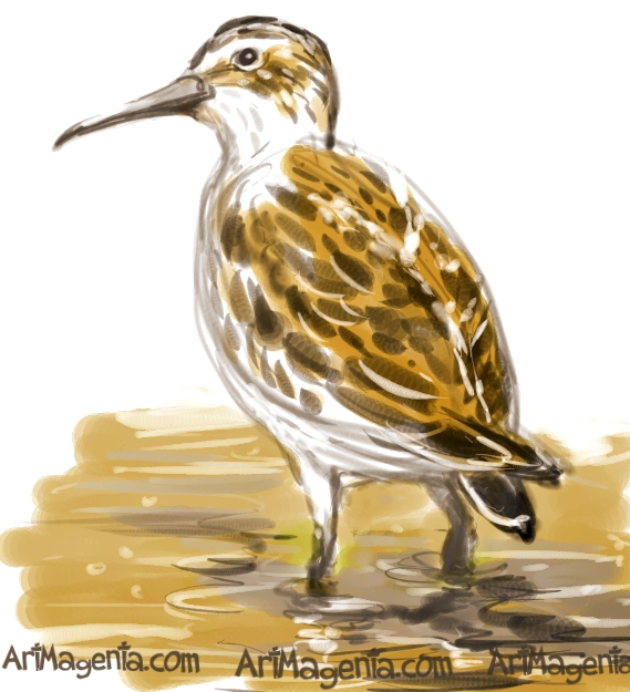 Broad-billed Sandpiper sketch painting. Bird art drawing by illustrator Artmagenta