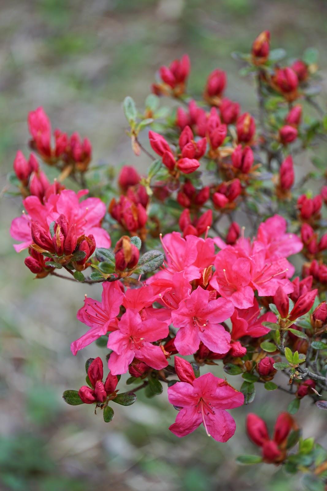 赤い躑躅の花と蕾