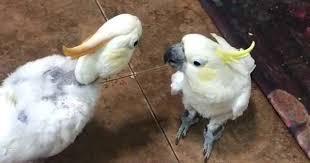 Cockatoos hold hilarious beak to beak conversation